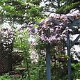 山野草ガーデン上のクレマチスモンタナ